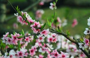 2018春天去哪里看桃花 这7个地方千万别错过!